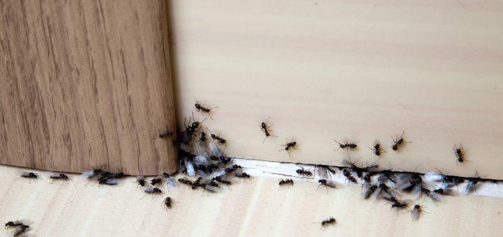 exterminer-fourmis-maison